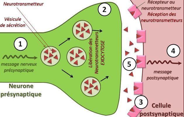 Fonctionnement synaptique