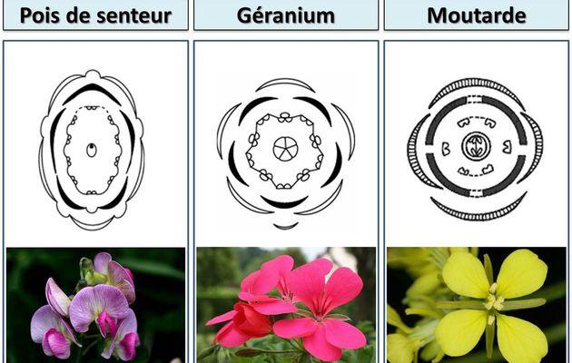 TS_TP4 :  Organisation anatomique d'une fleur