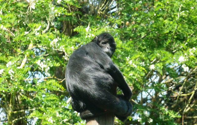 Les singes du zoo des Sables d'olonne