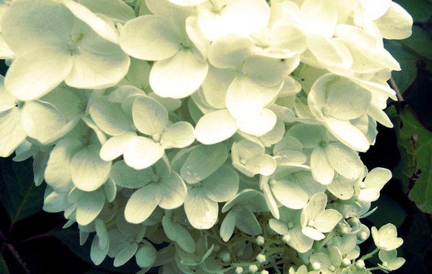Les fleurs de Kamakura