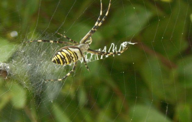 Photos d'araignée épeire jaune et noire