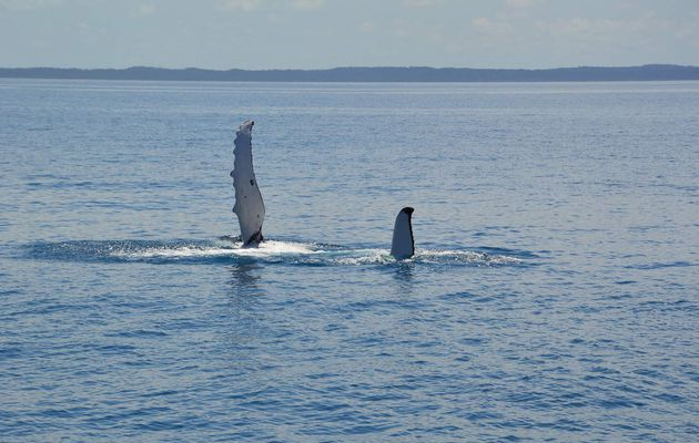 Whale Watching-Hervey Bay