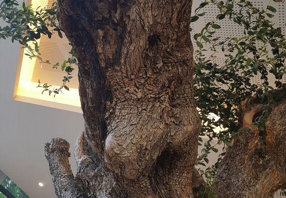 Une star à sa façon, l'olivier de 1700 ans