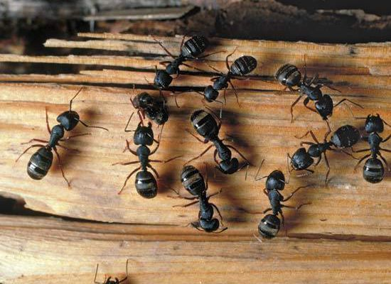 An ultimate guideline on carpenter ant control in the house!