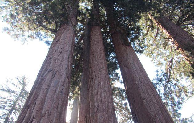 Road trip aux USA, étape 10 : Sequoia park, aux pays des géants