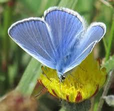 L'argus bleu céleste