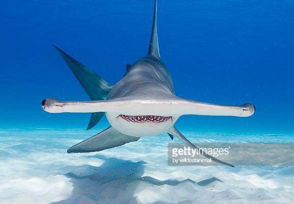 exposé requin cm1