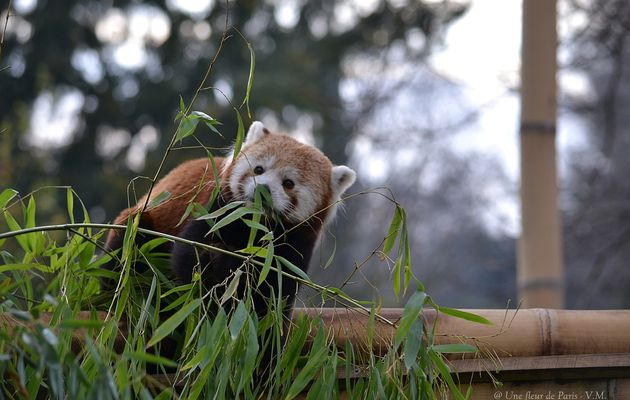 Ménagerie du Jardin des Plantes : Le Panda roux
