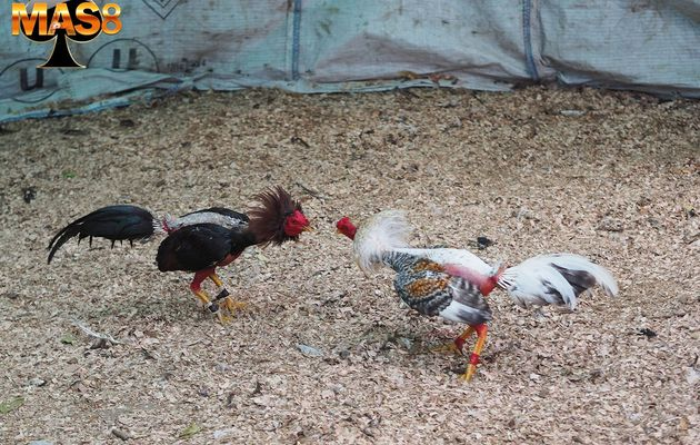 Cara Mengatasi Penyakit Ayam Curious