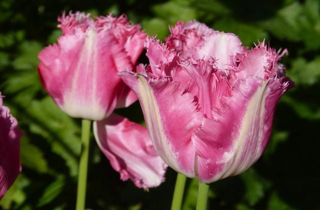 "Tulipes dentelles "" Fancy Frills"""