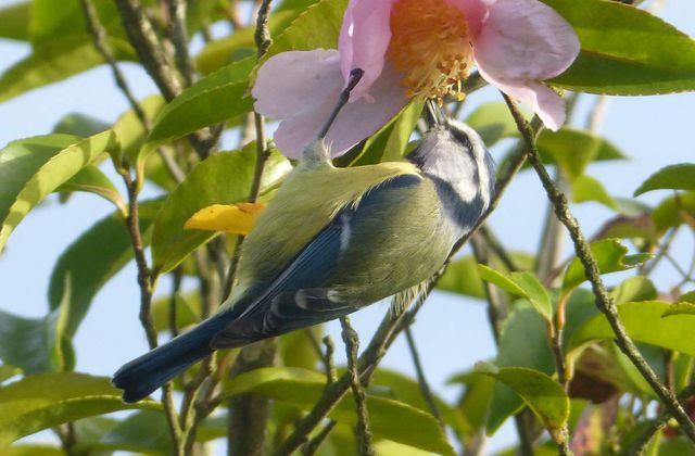 La Mésange bleue - Cyanistes caeruleus.