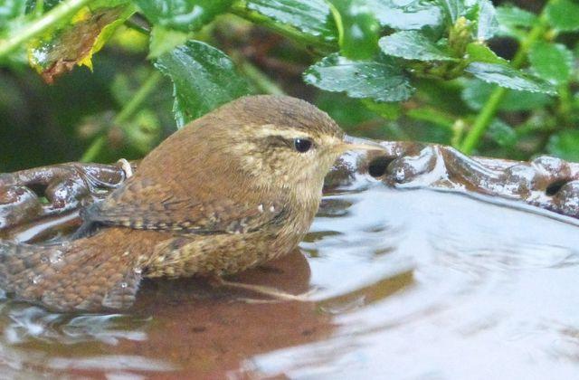 Bain à oiseaux