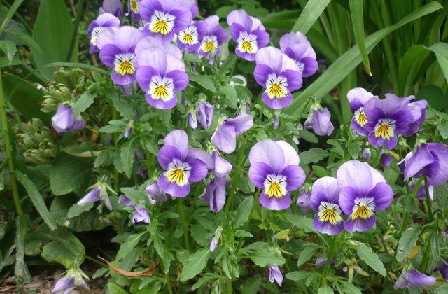 Violette cornue - Viola cornuta