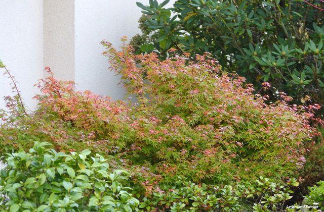 Érable du Japon 'Coonara Pygmy'  Acer Palmatum ' Coonara Pygmy '