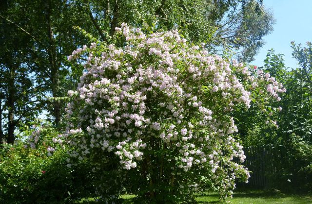 Kolkwitzia amabilis ou Beauty bush