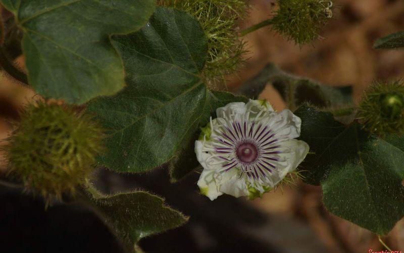 Passiflora foetida L., Passiflore poc-poc