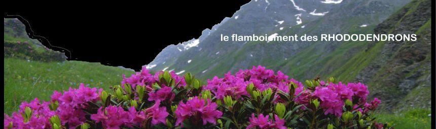 RHODODENDRON - Rhododendron Ferrugineux