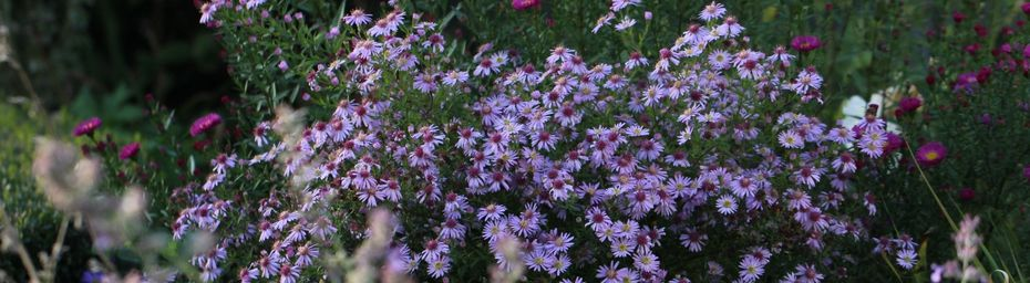 Le temps des asters…