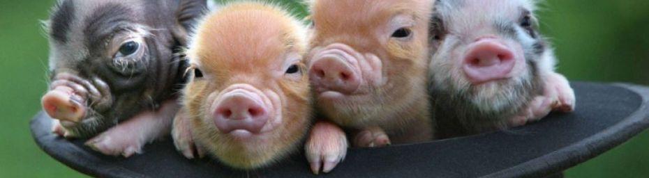 Des mini-cochons comme animaux de compagnie ?
