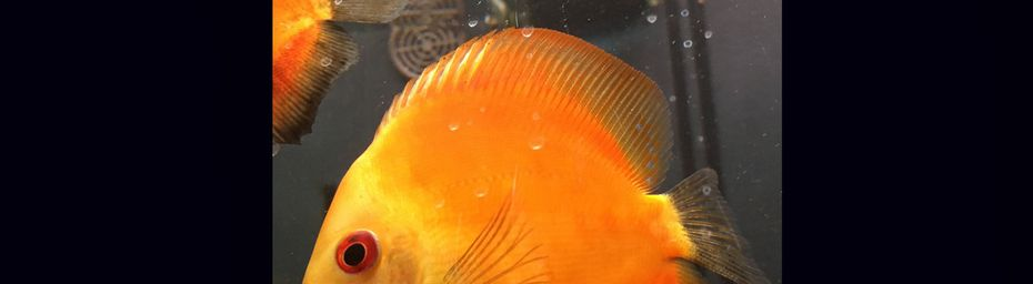 Poisson orange