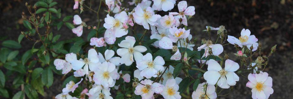 La belle remontée des roses
