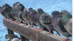 Faire fuir les pigeons !