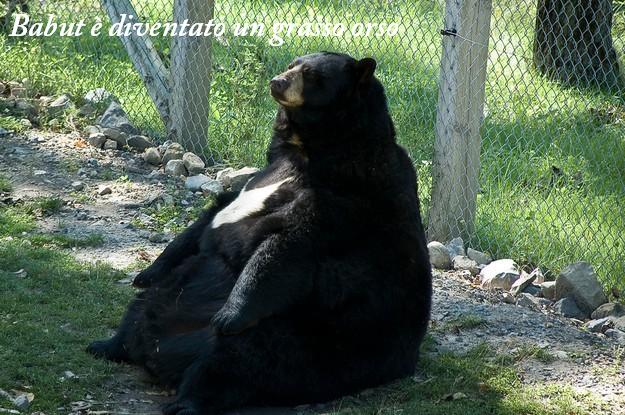 Babut orso mangione: bel pancione!