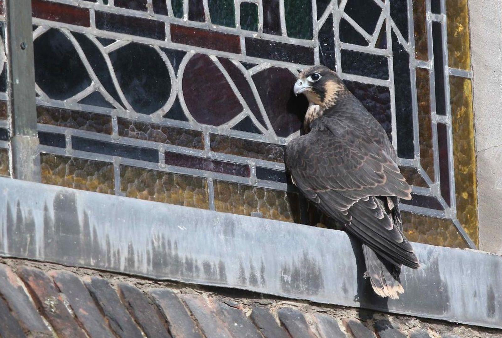 Les aventures des faucons pèlerins d'Armentières juin 2019