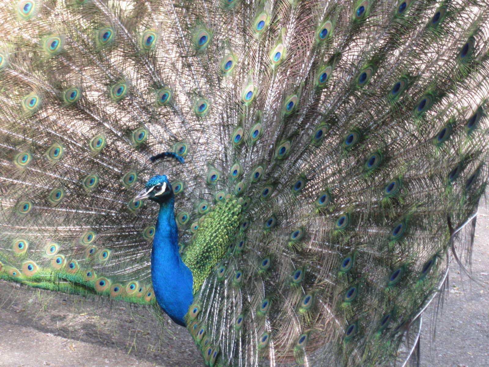 Le Paon Qui Fait La Roue la roue du paon au zoo d'amnéville - lesphotosaelina