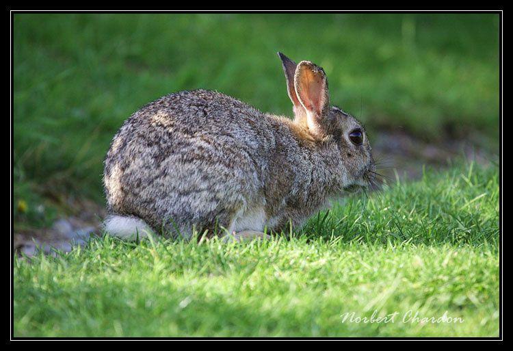 Un beau lapin de garenne écossais