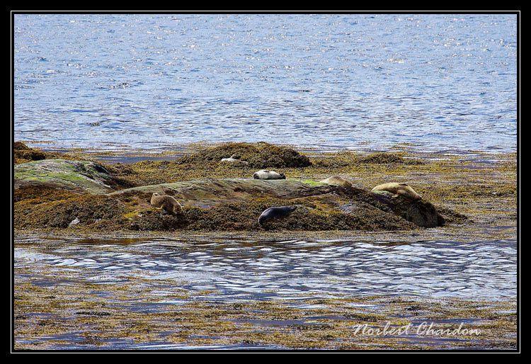 Des veaux marins allongés nonchalants sur des îlots