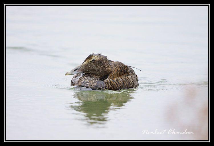 Un eider perdu au milieu des salins d'Hyères, l'oiseau rare du moment...