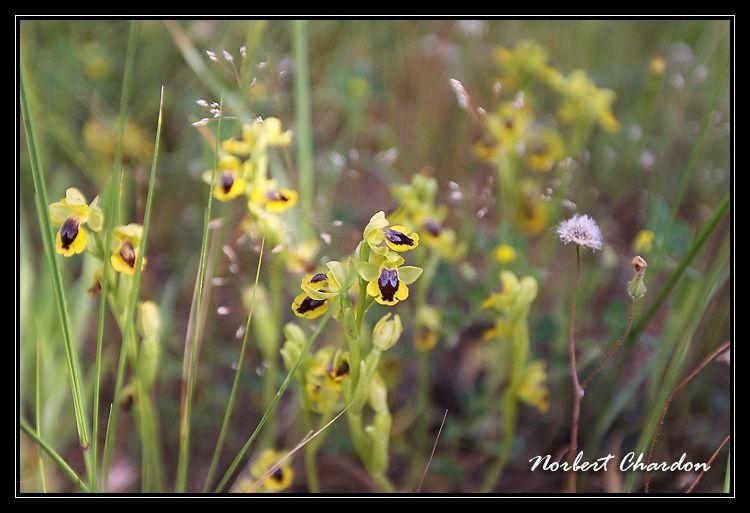 Ophrys jaune ( Hyères - 83 )