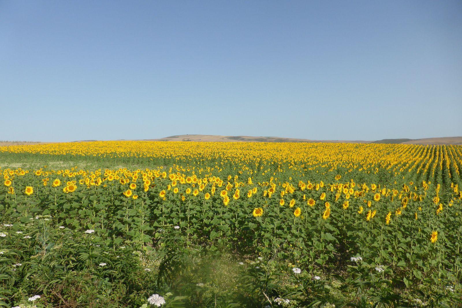 Nous avançons sur le village de Villambista, Brigitte en profite pour récolter une fleur de tournesol, elle aussi...Nous ne restons pas longtemps et fillons vers Espinosa del Camino que nous traverserons très vite car il nous faut avancer.