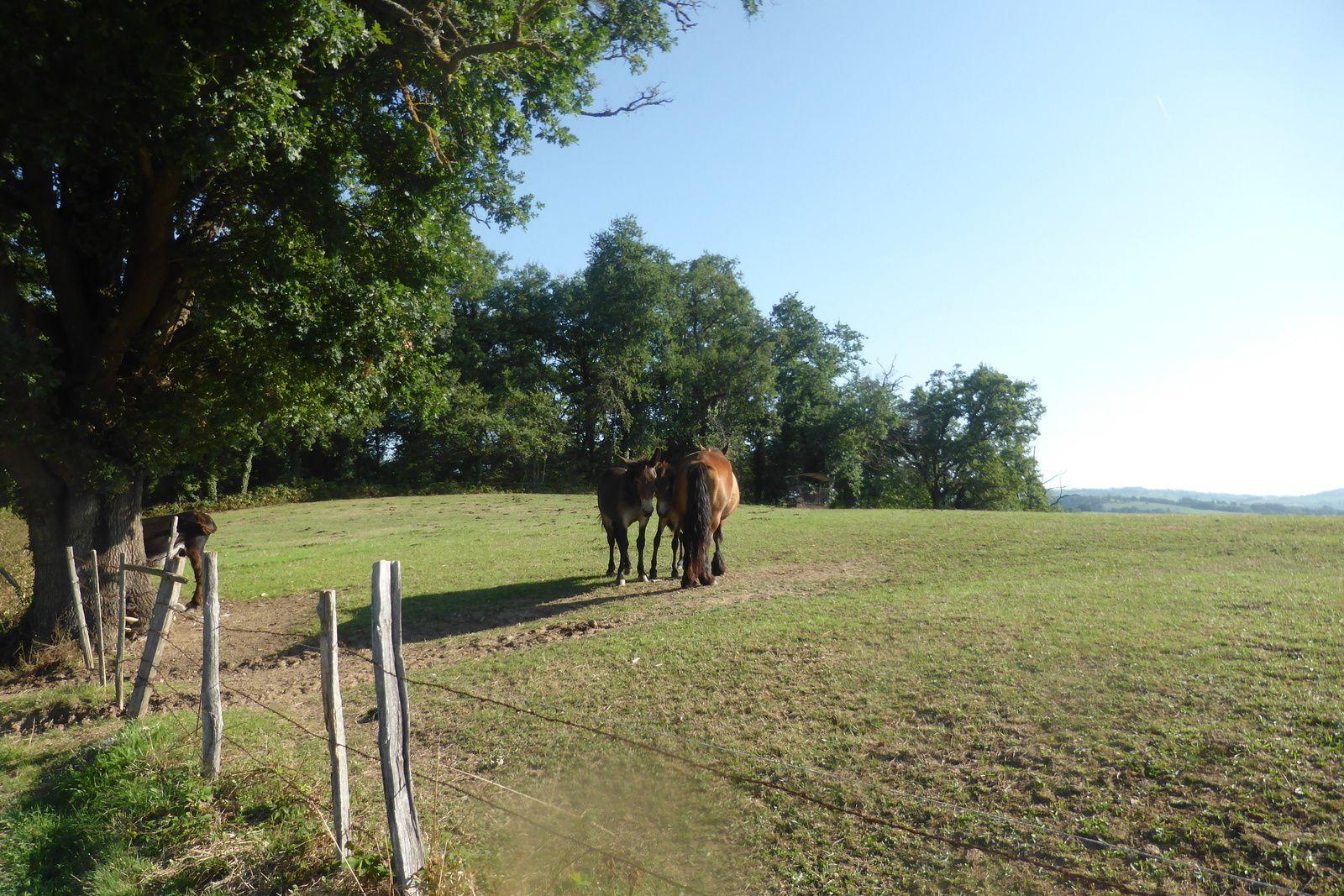 """Nous voilà entre le lieu-dit """" leThabor"""" et """"la Treille"""", après une belle montée en sortant de Livinhac-le-Haut, nous voilà dans un secteur plus plat et en partie dans la forêt. Le groupe avance bien, Jeroen marche maintenant avec nous jusqu'à Figeac. Dans un champ proche nous apercevons une jument avec ses deux poulains et un âne qui attend sagement que quelqu'un veuille bien lui donner une pomme !"""