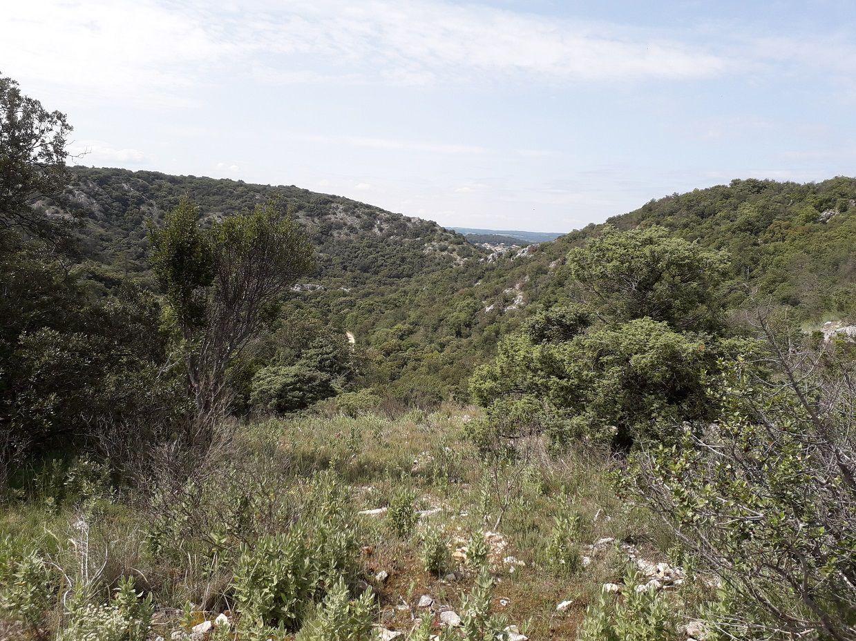 Beaucoup d'Escholzia (Pavot de Californie) sur le plateau, le long de la piste DFCI.