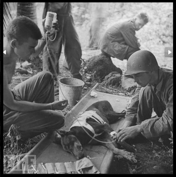 Dobermann, chiens de guerre . 2014, une année de commémoration des deux grandes guerres pour lesquelles nos compagnons à quatre pattes ont aussi payé un lourd tribu .