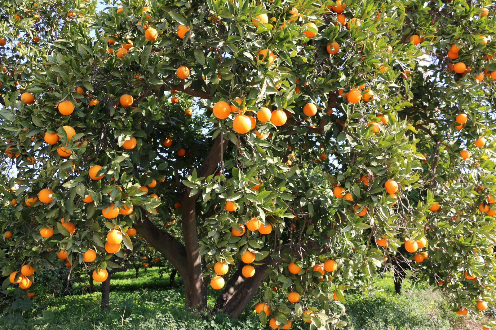 Retour du pays des orangers et des amandiers en fleurs.