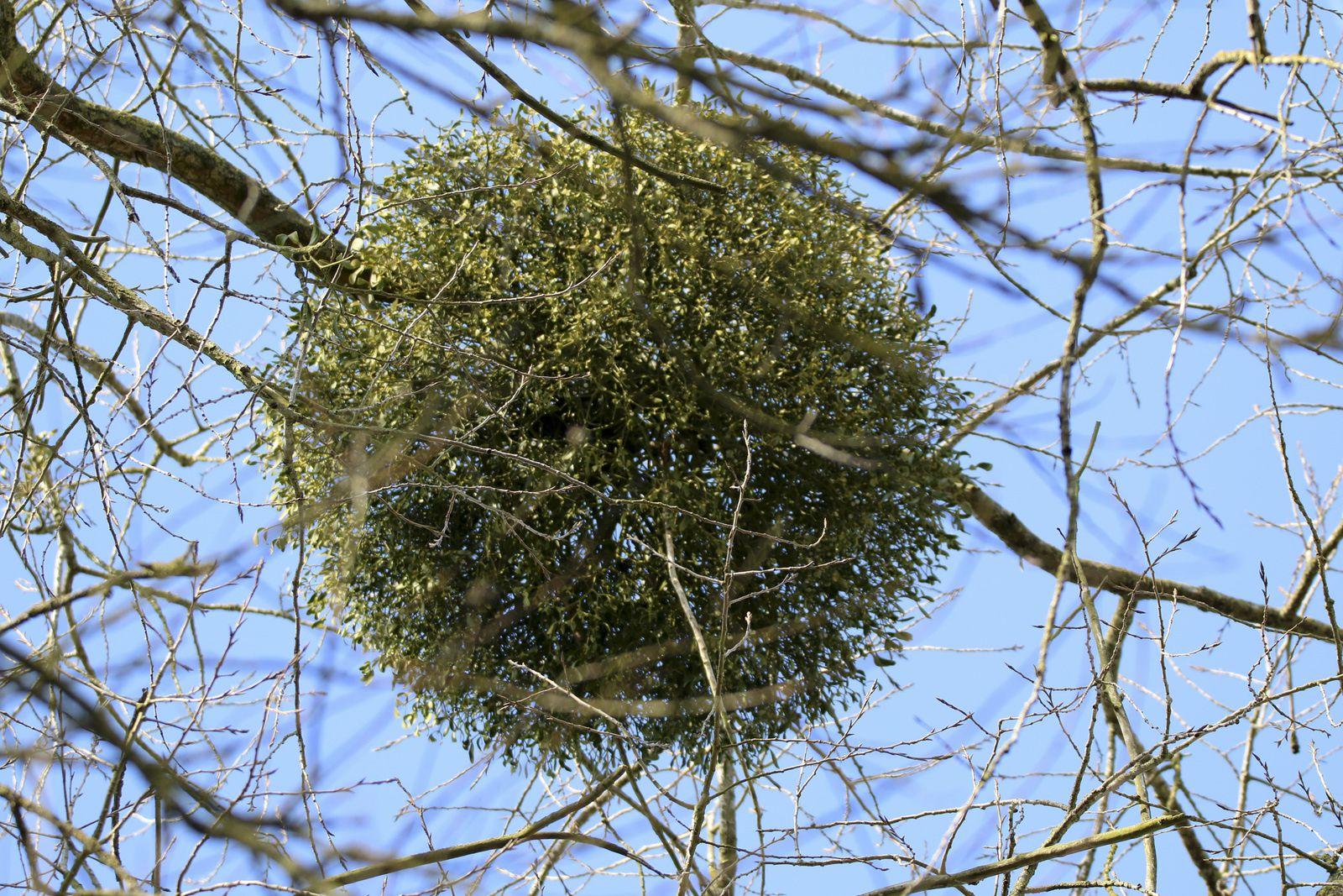"""Boule de gui et bouquet de chardons secs ou cardères sauvages ou encore appelés """"peignes à loup"""""""