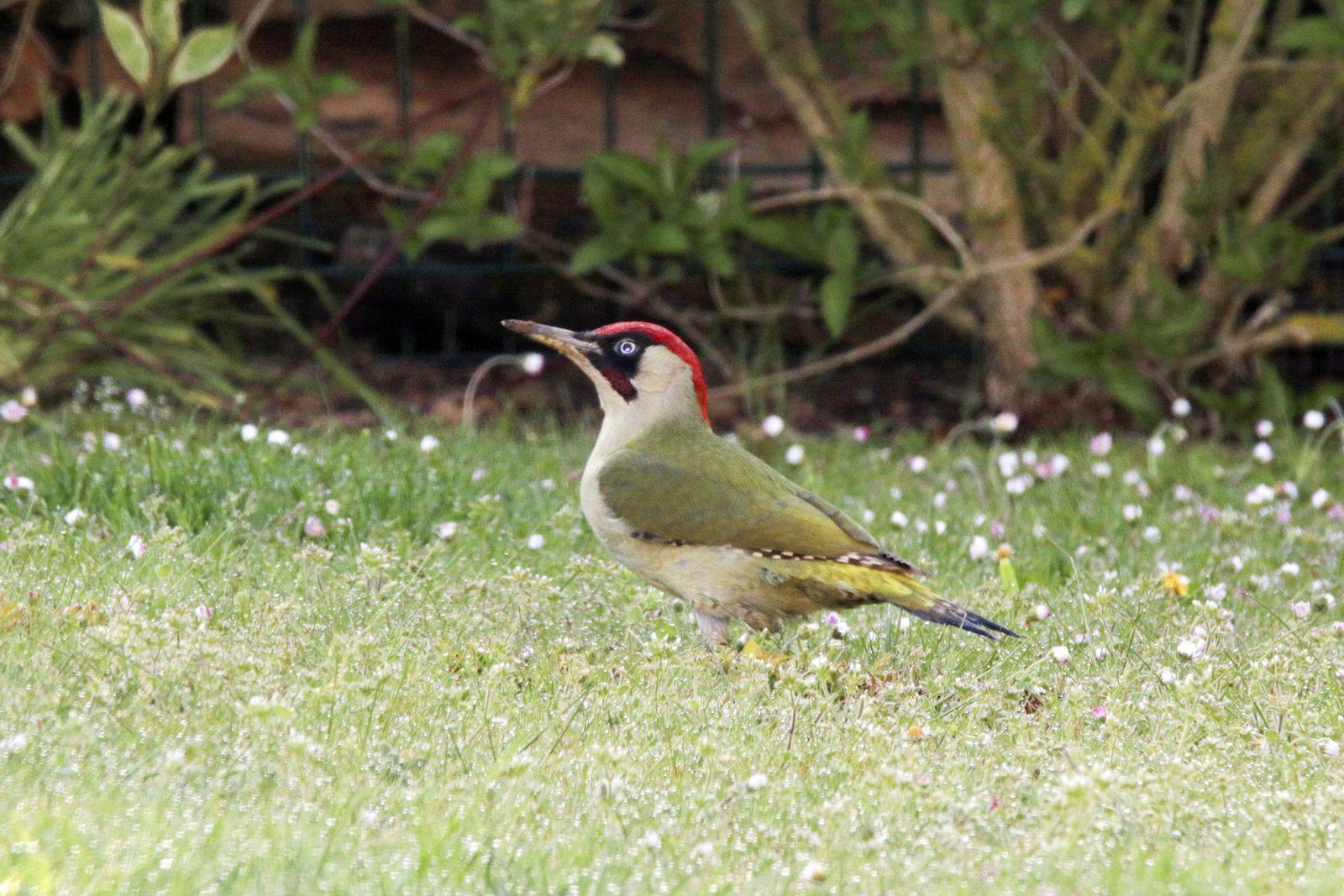 Picus viridis et Sturnus vulgaris ce matin en ouvrant les volets.