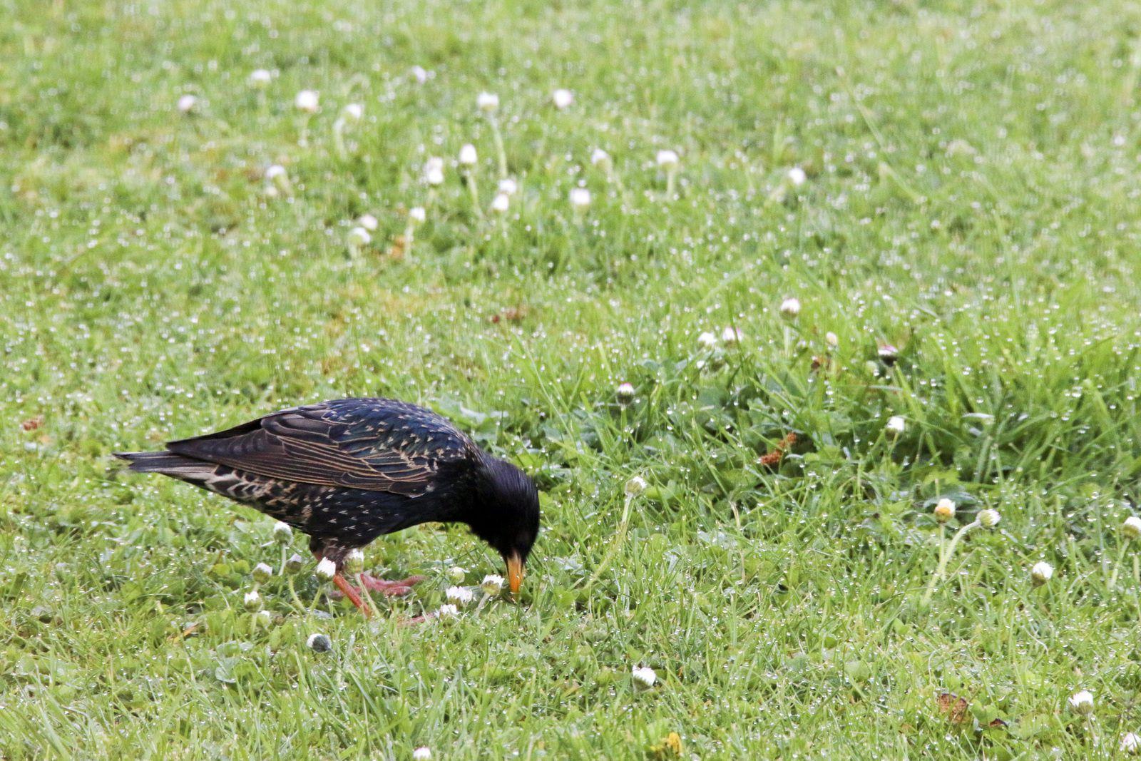 L'étourneau se nourrit principalement de vers et insectes trouvés dans les herbes des pelouses grasses en picorant la terre.
