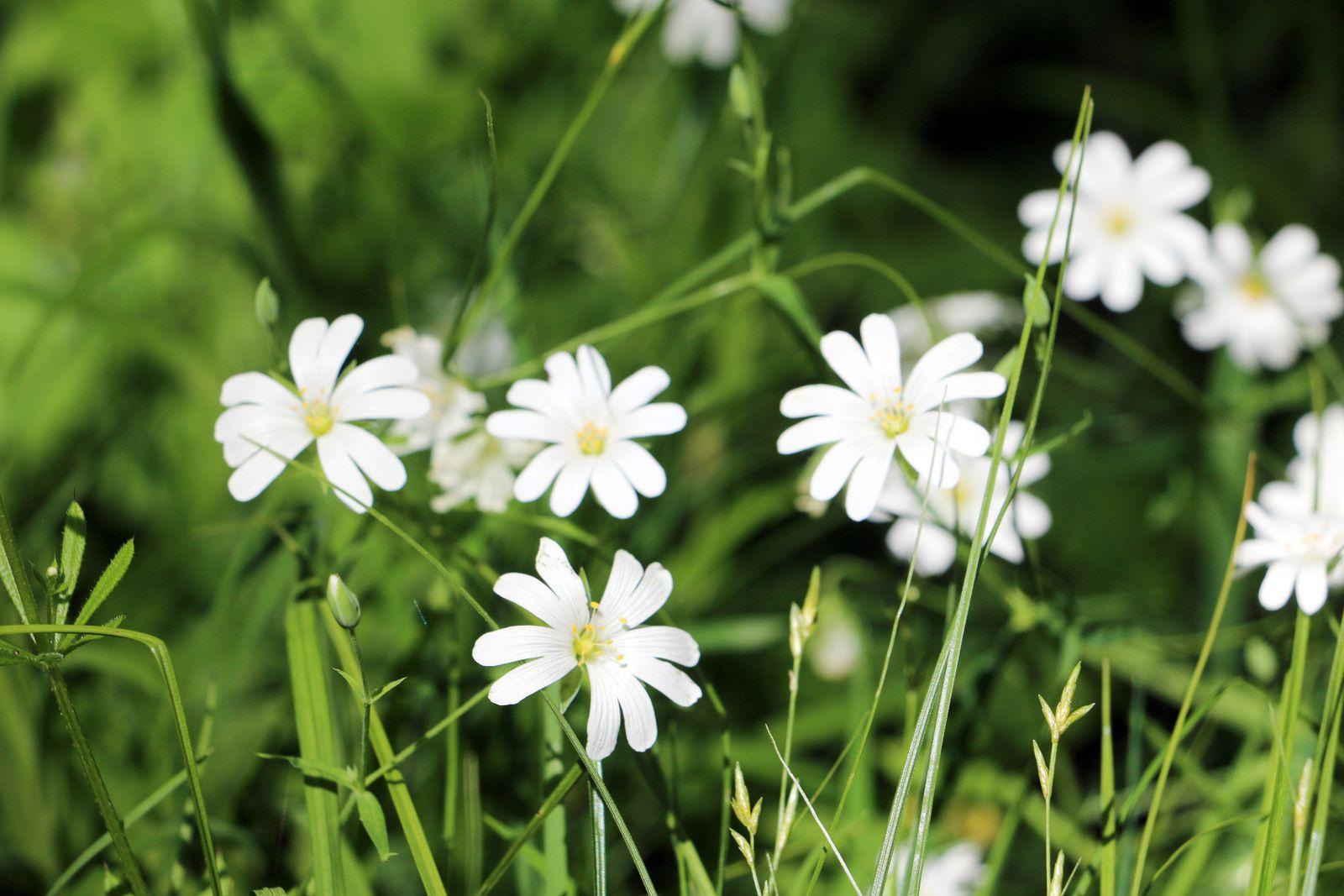 Fleurs de stellaire holostée.