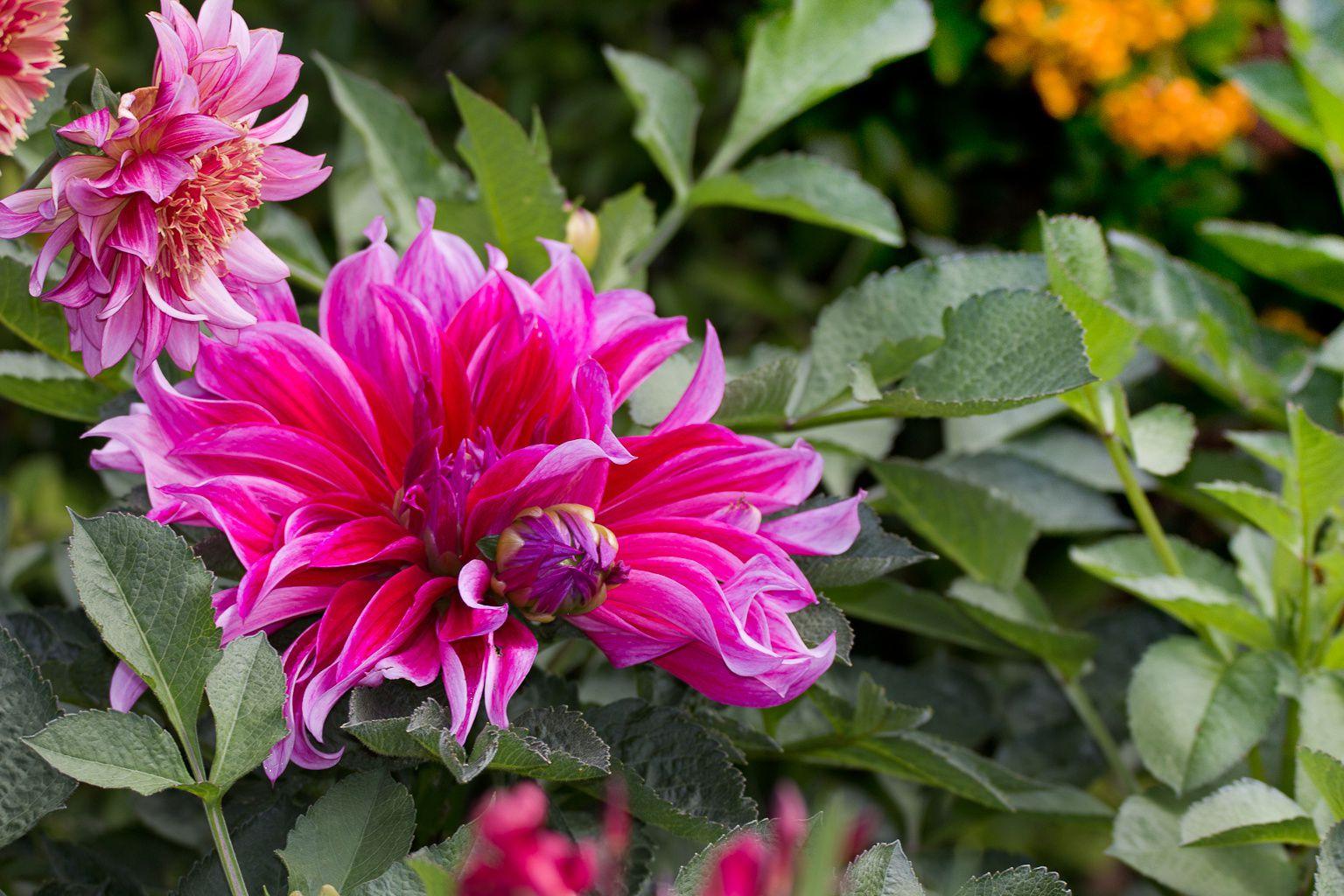 Dahlias du jardin.