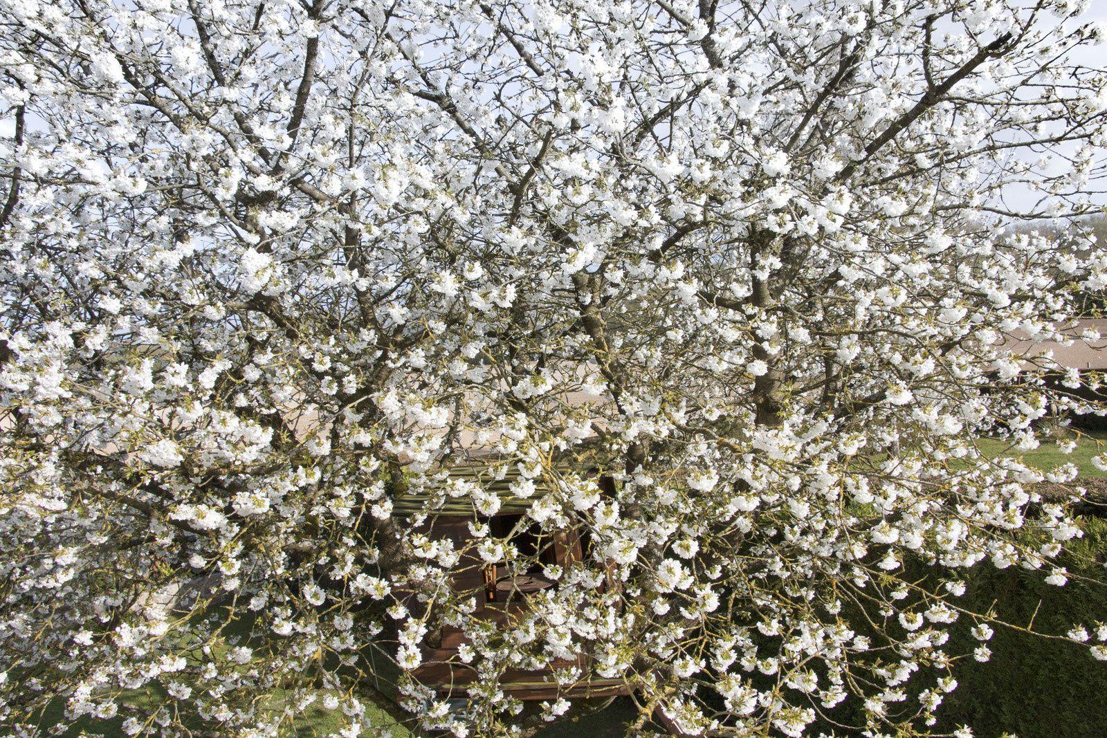 L'arbre à cabane en fleurs.