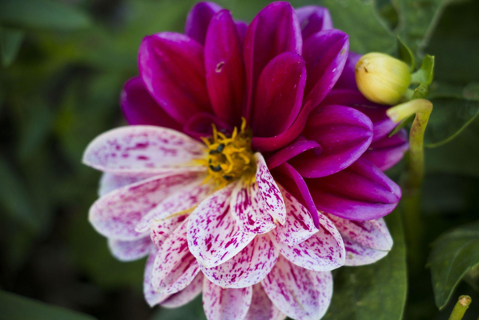 Fleur de dahlia originale.