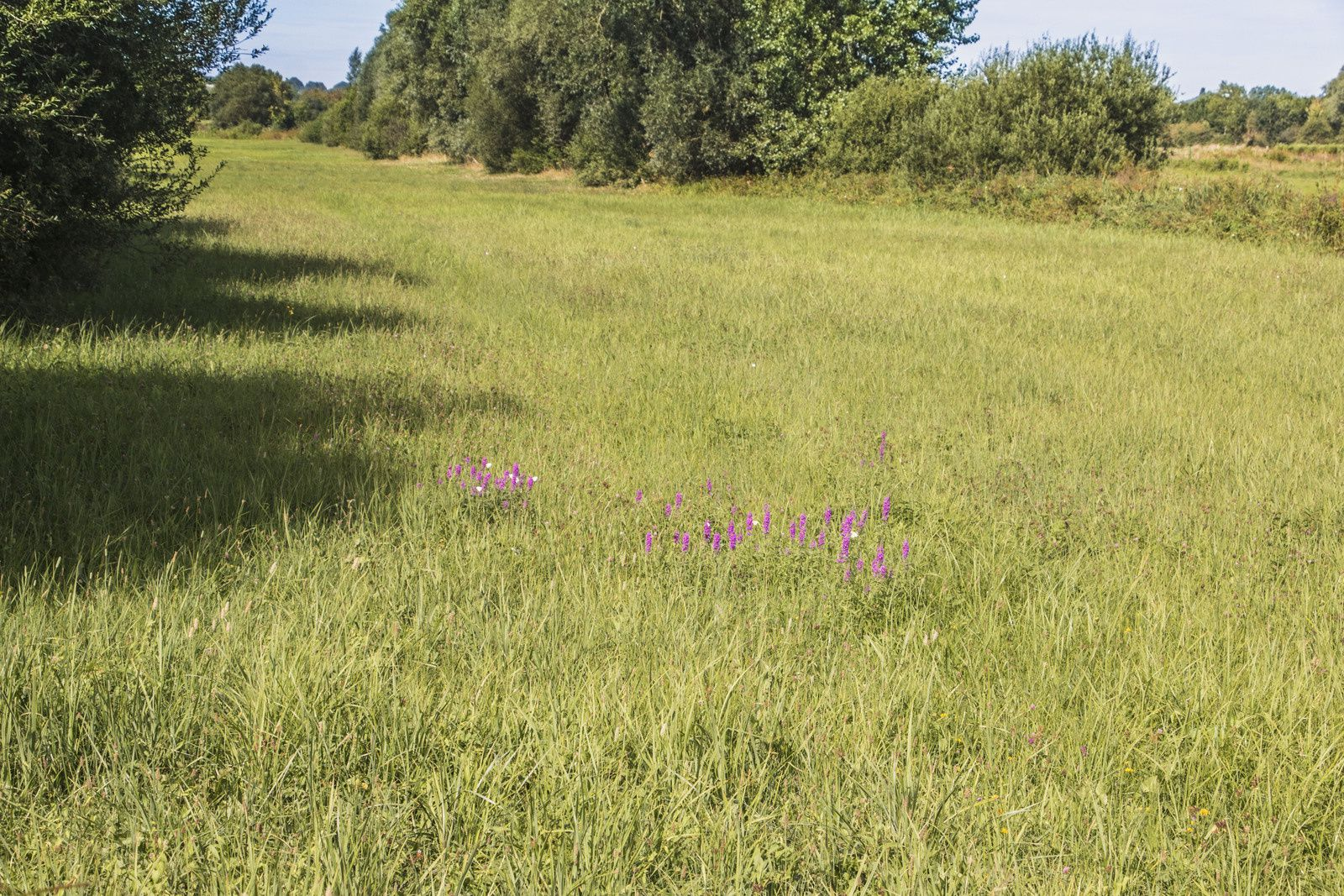 Fleurs des près. Peut-être s'agit-il de Dactylorhiza praetermissa ou encore appelée orchis négligé. Elle est une espèce de plante herbacée vivace de la famille des Orchidaceae.  Elle est aussi appelée « Dactylorhize oublié » ou « Orchis oublié ». On retrouve cette espèce dans les prairies humides du nord de la France. Rares sont les prairies encore vertes après la canicule.
