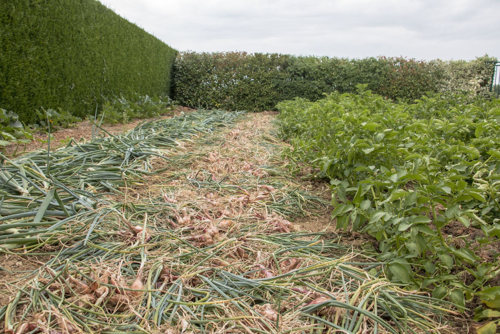 Une belle récolte à sécher puis à rentrer au sec. Attention, échalote comme oignon n'aiment pas les fumures fraîches.