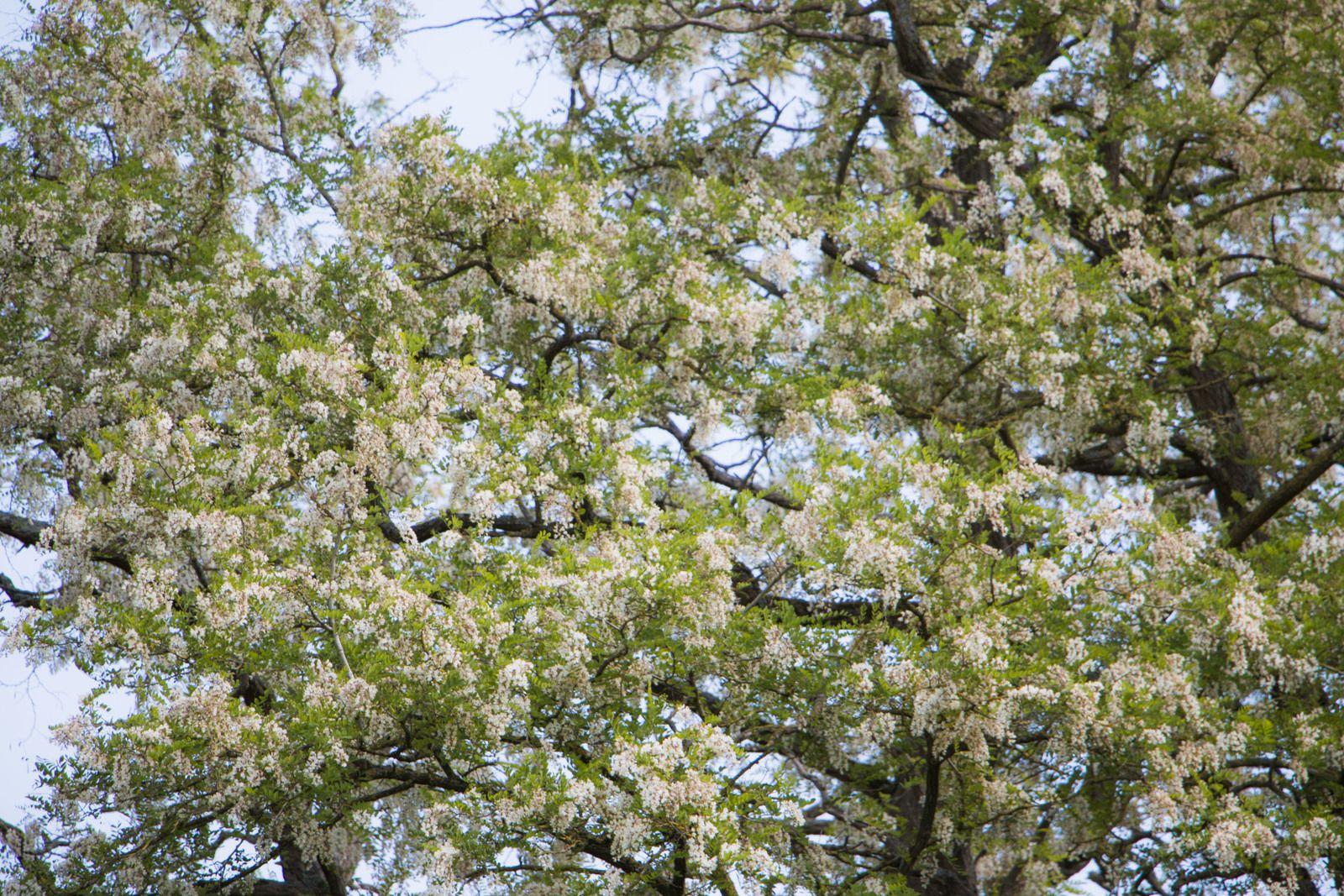 Les fleurs d'acacia dégagent un parfum unique très subtil. Les abeilles en rafolent et les apiculteurs proposent chaque année leur fameux miel d'acacia qui a la particularité de rester liquide.