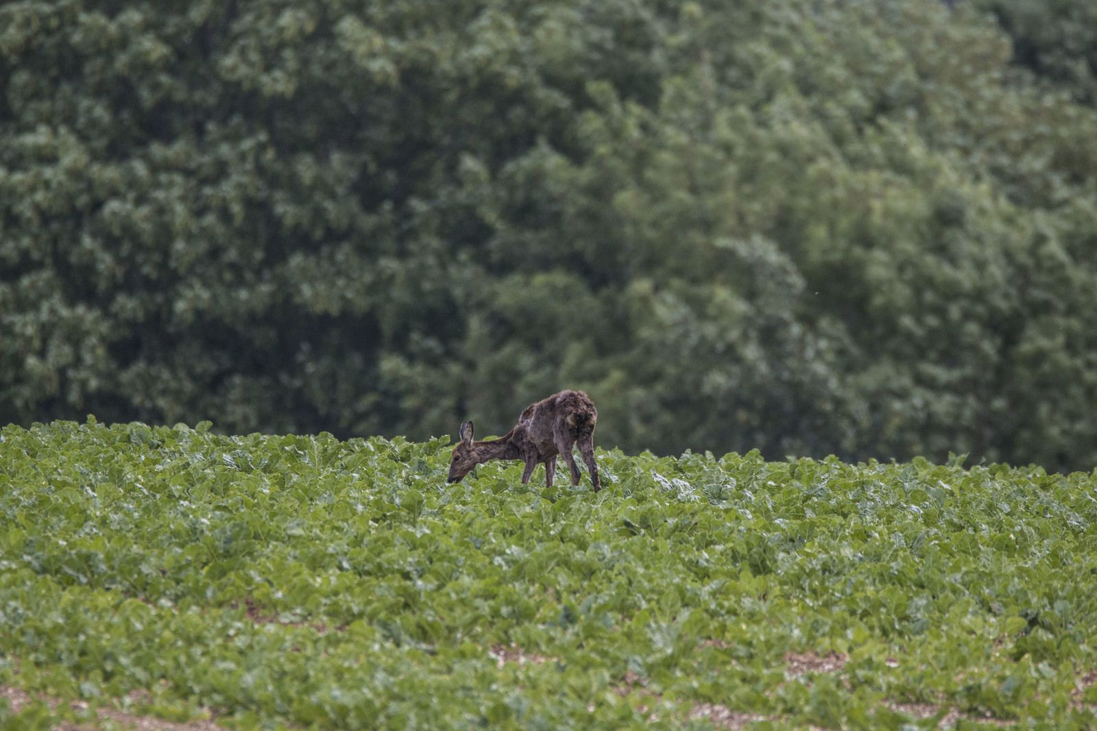 Chevreuil au champ.