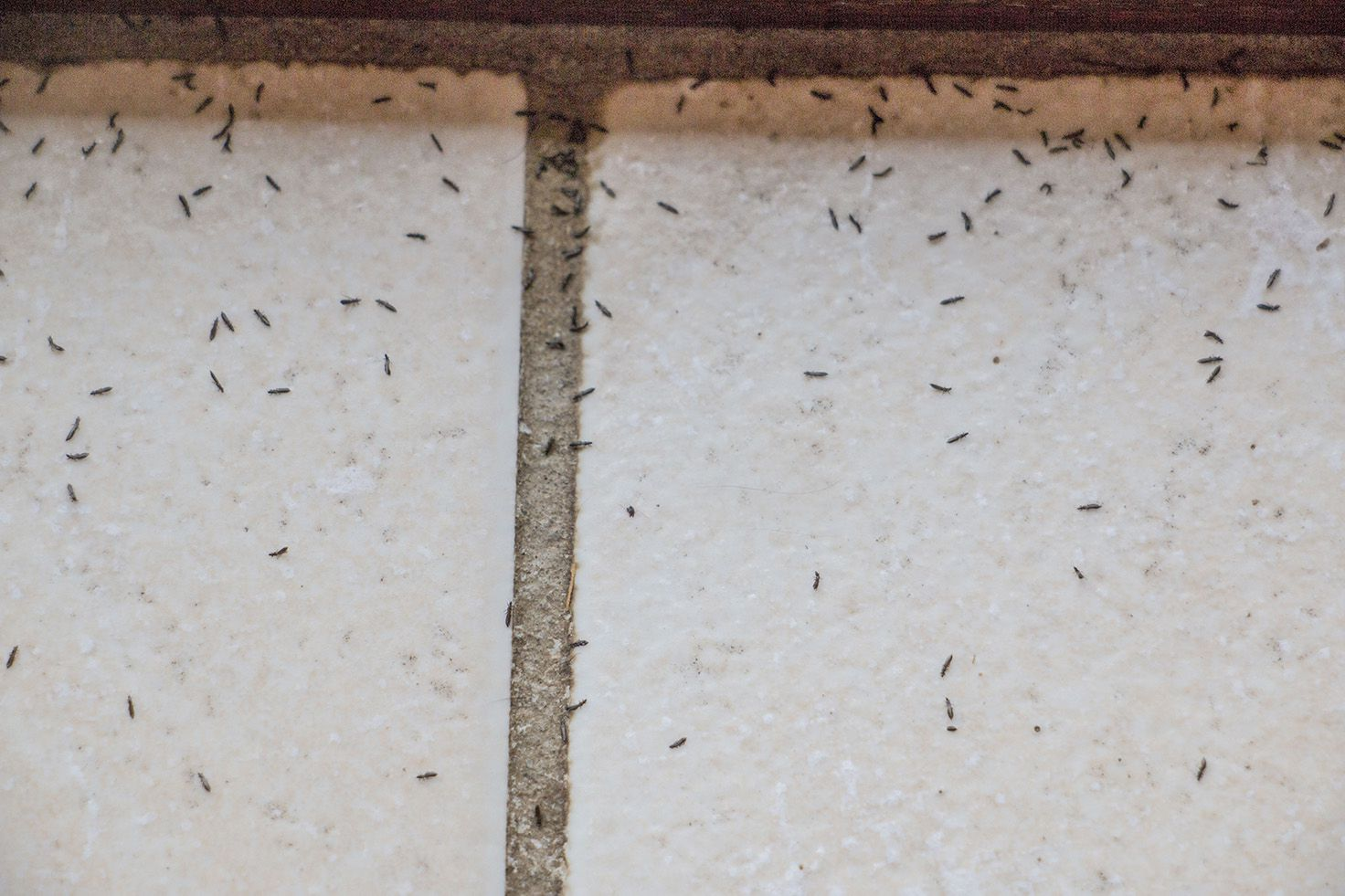Les thrips ou bêtes d'orage: insupportables bestioles.